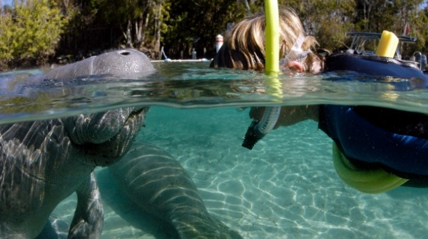 person with snorkle swimming with manatee
