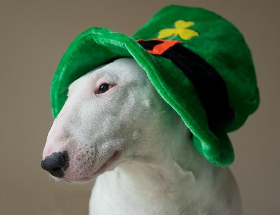 St Patricks Day hat on dog